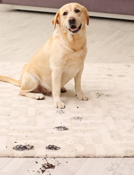 dirty dog on rug   Flooring by Wilson's Carpet Plus